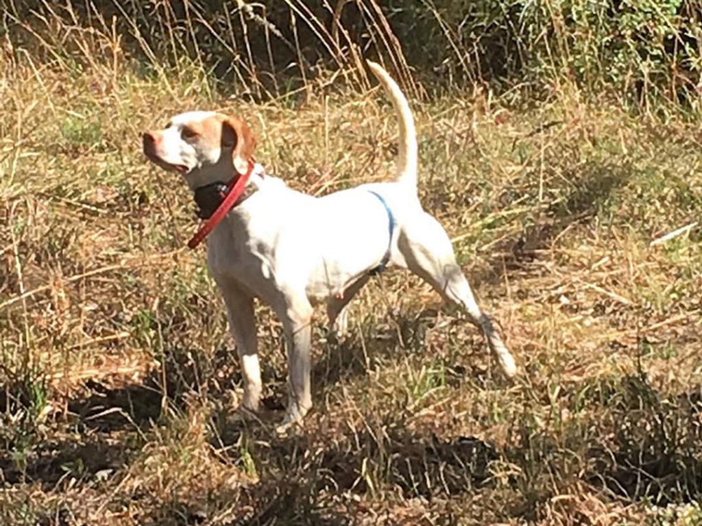 Hunting Dog Adoption Texas