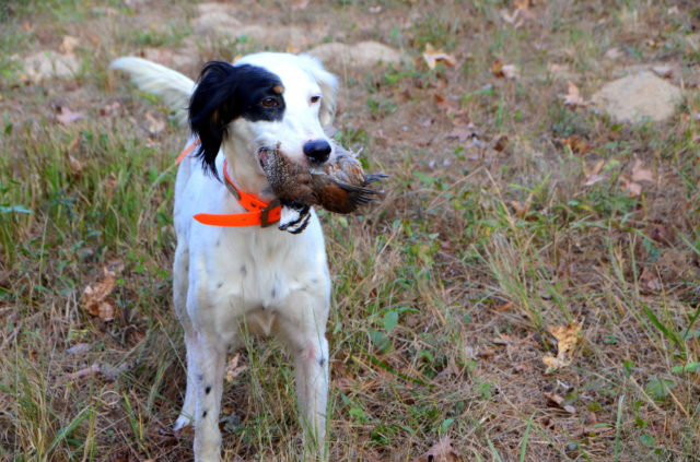 hunting dog east texas