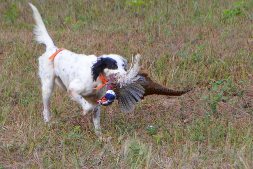 Guided Pheasant Hunting Texas